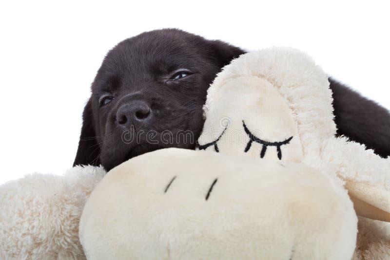 черный щенок labrador сонный стоковые фотографии rf