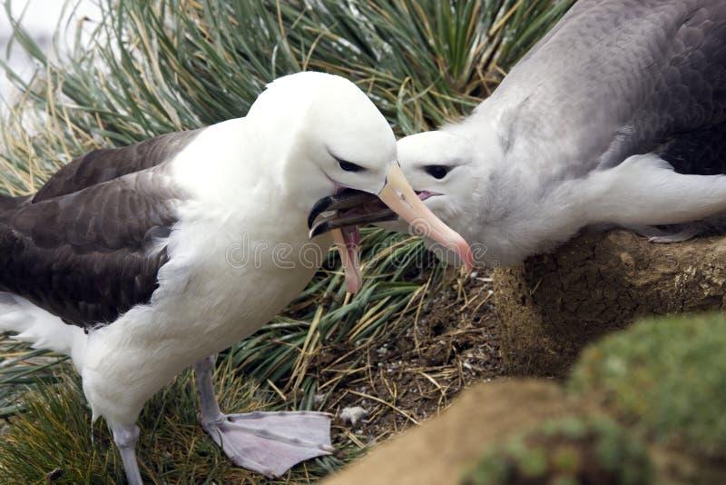 Черный browed альбатрос - Falkland Islands стоковые фотографии rf