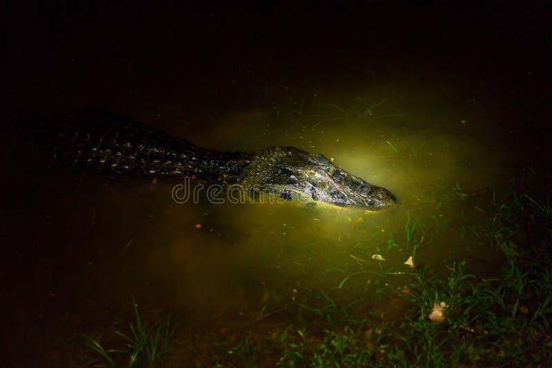 Черный Caiman к ноча стоковая фотография rf