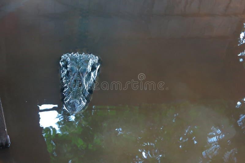 Черный Caiman на национальном парке Madidi, Боливии стоковое изображение rf