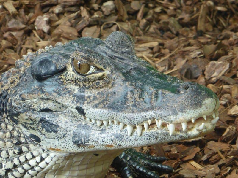 Черный caiman смотря вне на мире стоковое фото rf