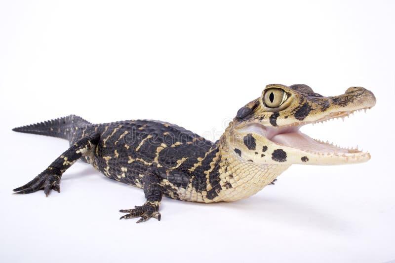Черный caiman, Melanosuchus Нигер стоковые фотографии rf