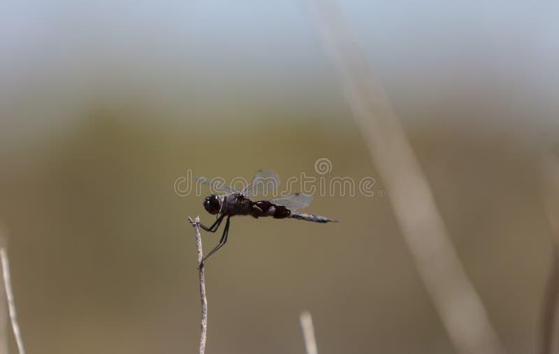 Черный dragonfly lacerate Tramea saddlebags стоковые фото