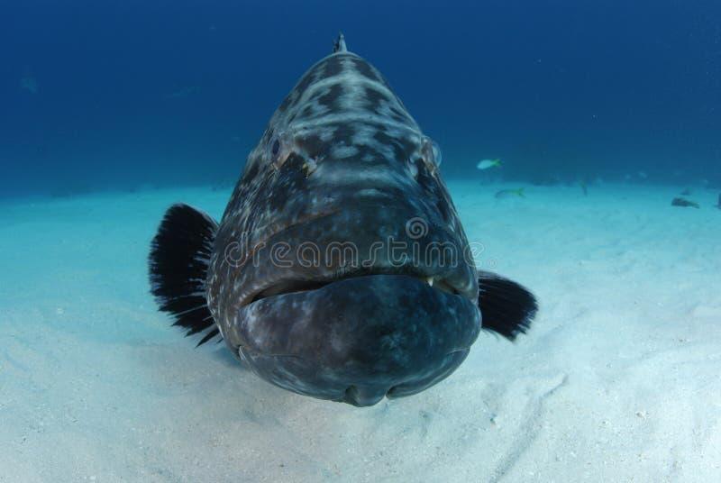 черный grouper стоковые фотографии rf