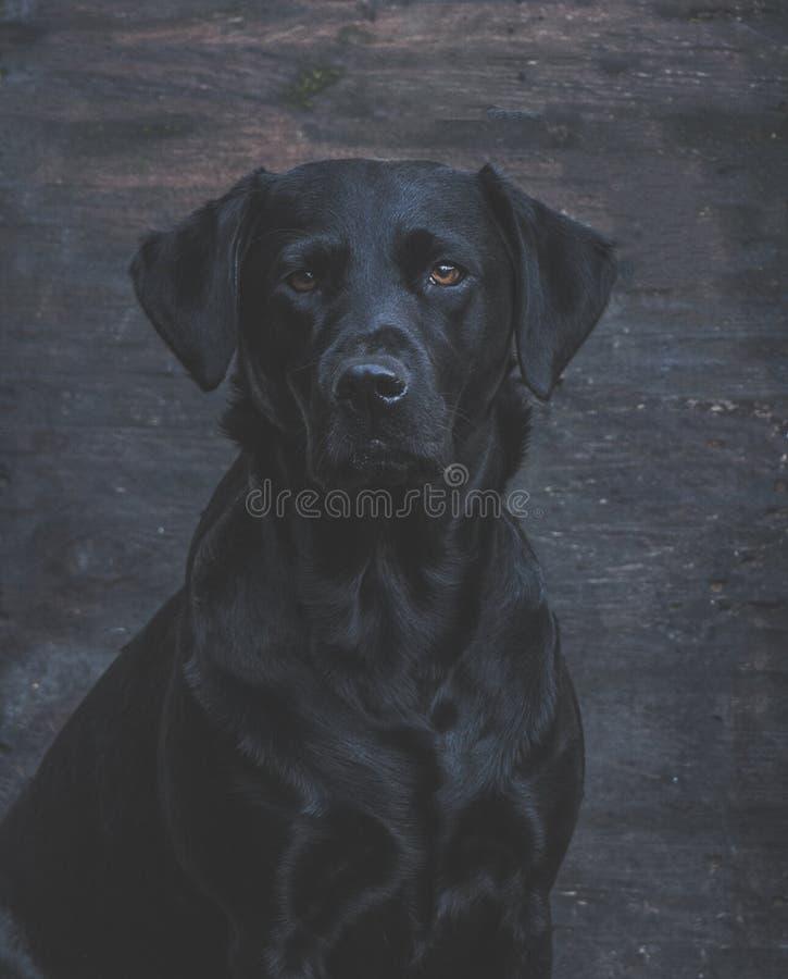 черный labrador стоковая фотография