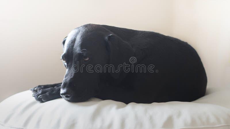 черный labrador стоковые изображения