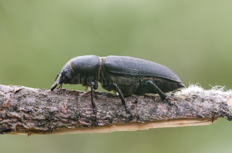 Черный Longicorn жук на хворостине в луге стоковые изображения