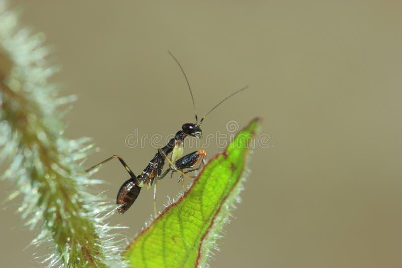 Черный mantis муравья стоковое изображение
