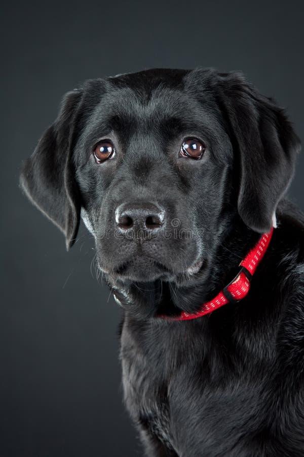 черный retriever labrador стоковые фото