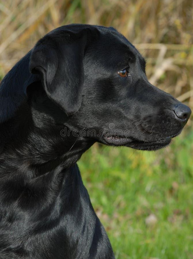 черный retriever labrador стоковое изображение