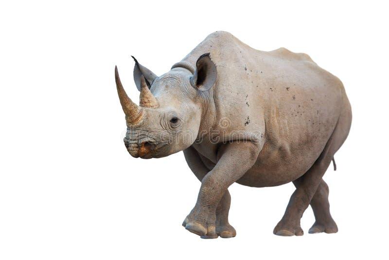 черный rhinoceros стоковые изображения