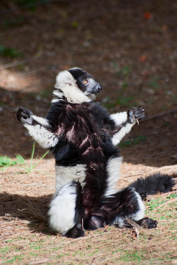 черным белизна ruffed lemur стоковое фото