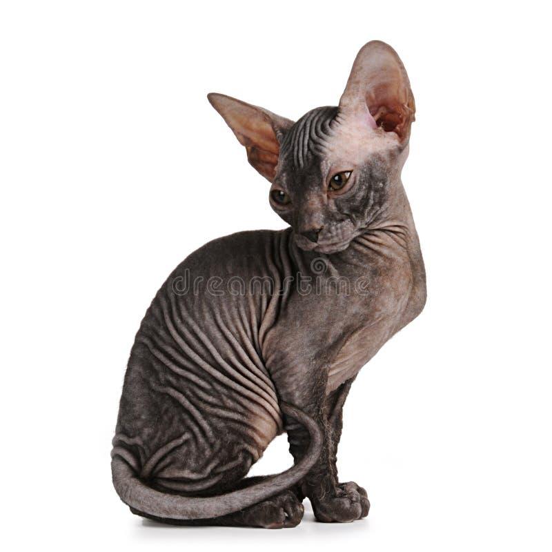 черным изолированная цветом белизна сфинкса котенка стоковые фото