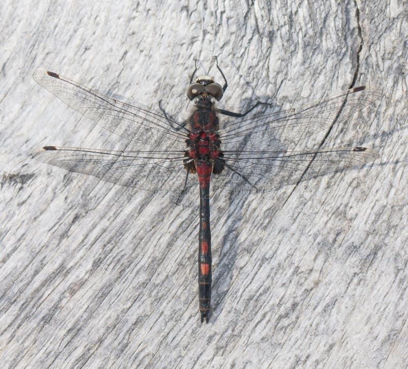 черным красный цвет mottled dragonfly стоковая фотография