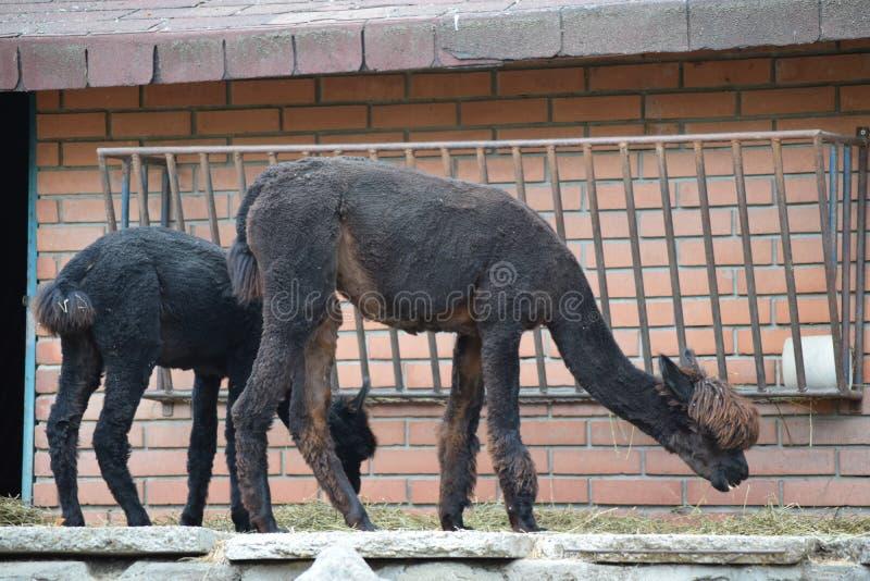 2 черных альпаки стоя и есть трава стоковые изображения rf