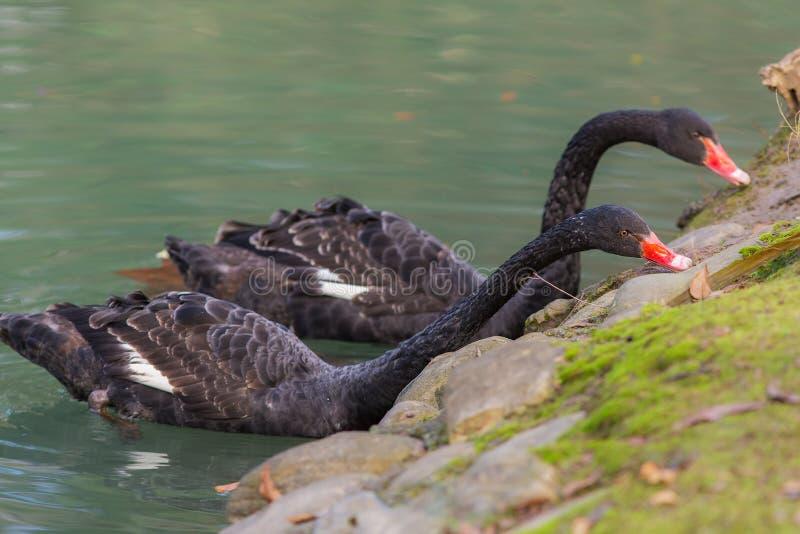 2 черных лебедя стоковые фото