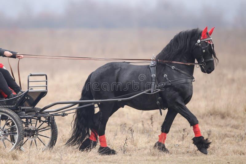 2 черных красивых украшенных лошади вытягивают тележку стоковая фотография rf