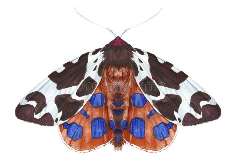 Чертеж бабочки ночи насекомого, сумеречница акварели, ковш рыжеватокоричневый, красивые крыла, меховой, животные, печать, оформле стоковое фото rf