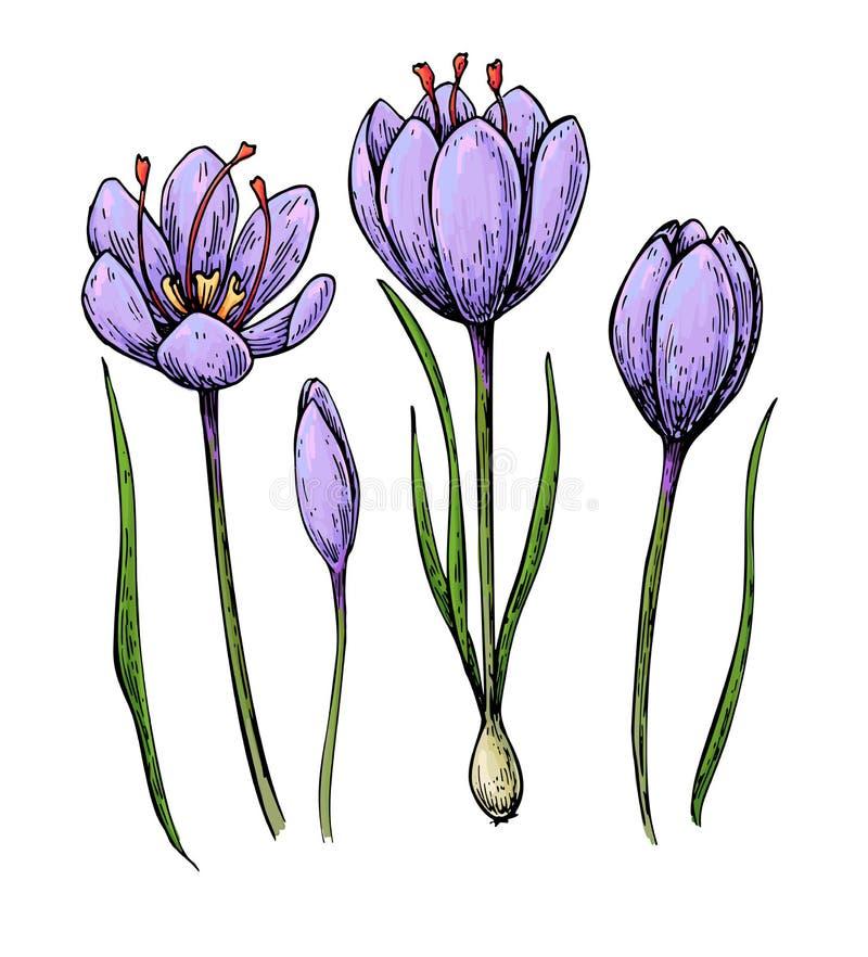 Чертеж вектора цветка colorSaffron шафрана Трава нарисованная рукой и бесплатная иллюстрация