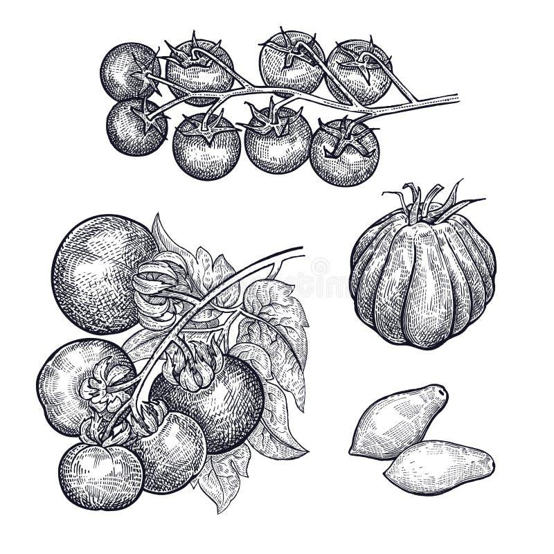 Чертеж руки vegetable томатов иллюстрация вектора