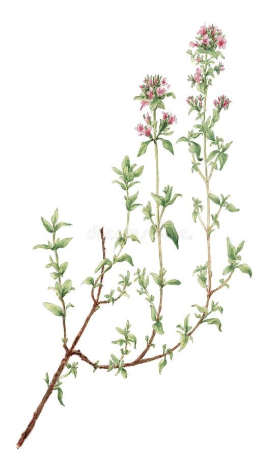 Чертеж тимуса тимиана vulgaris ботанический над белой предпосылкой иллюстрация вектора