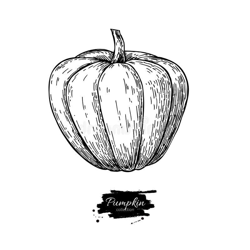 Чертеж тыквы Изолированный объект нарисованный рукой овощ бесплатная иллюстрация