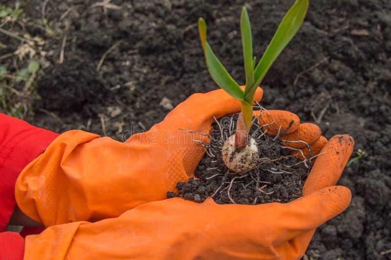 Чеснок молодого завода в руках перчаток agronomist нося Концепция размножения овоща, предохранения от завода и выхода стоковая фотография