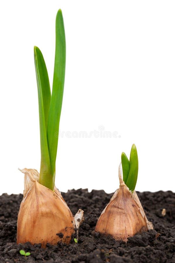 Чеснок пускать ростии в почве стоковое изображение rf