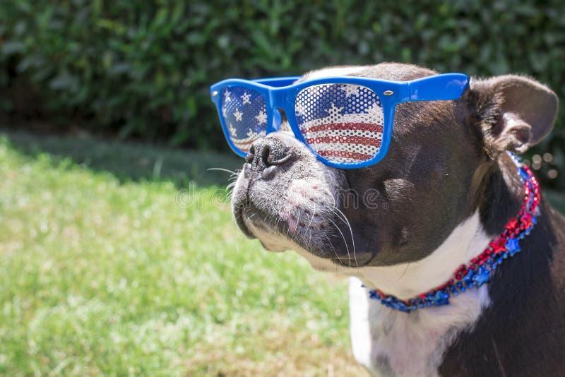Четверть собаки терьера Бостона нося солнечных очков и ожерелья в июле стоковые фото