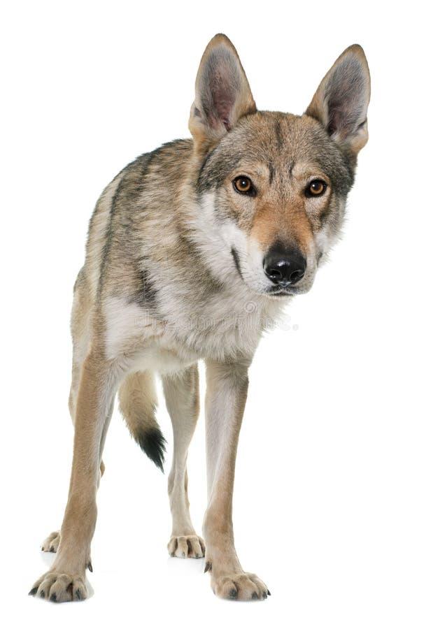чехословацкая собака волка стоковые изображения rf