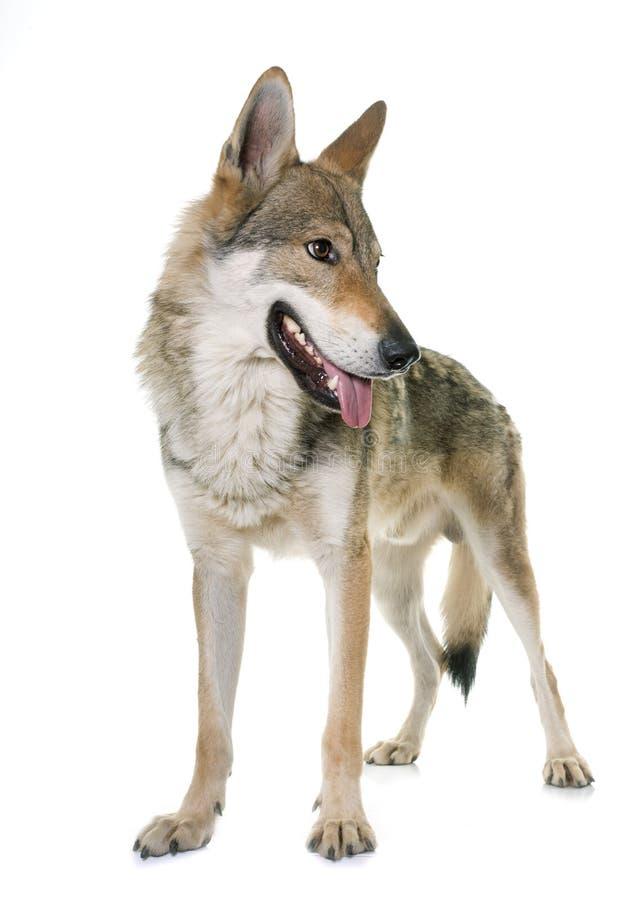 чехословацкая собака волка стоковое фото rf