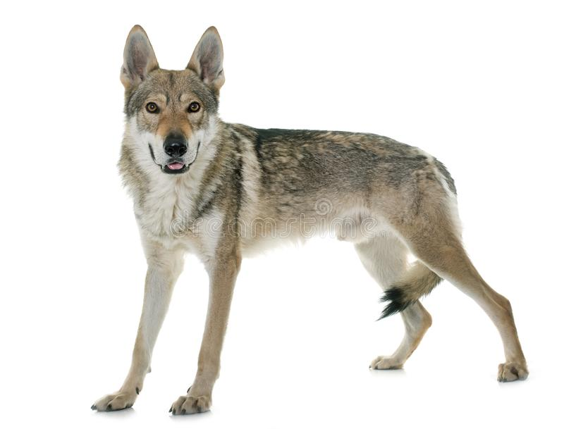 чехословацкая собака волка стоковые фотографии rf