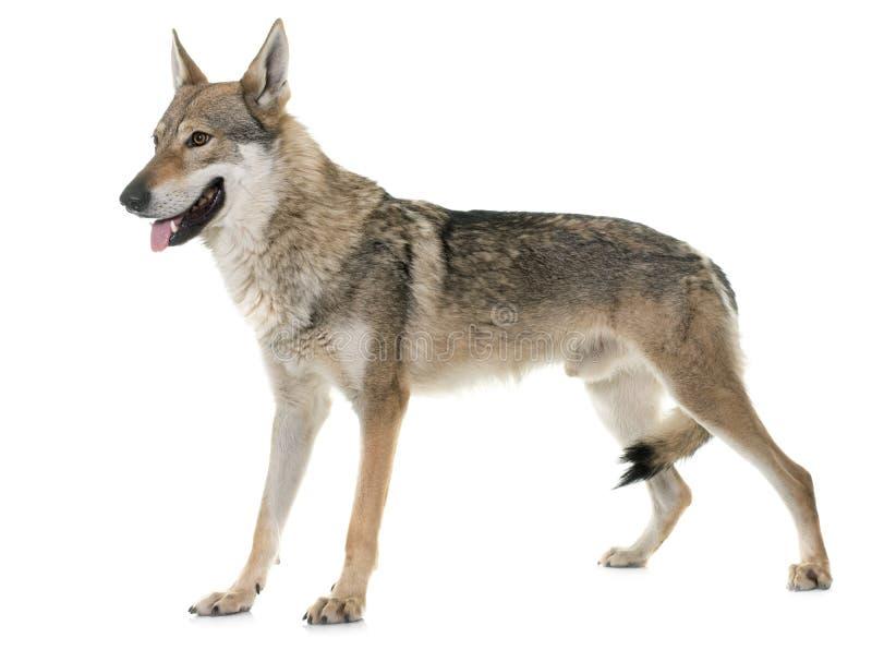 чехословацкая собака волка стоковое изображение rf