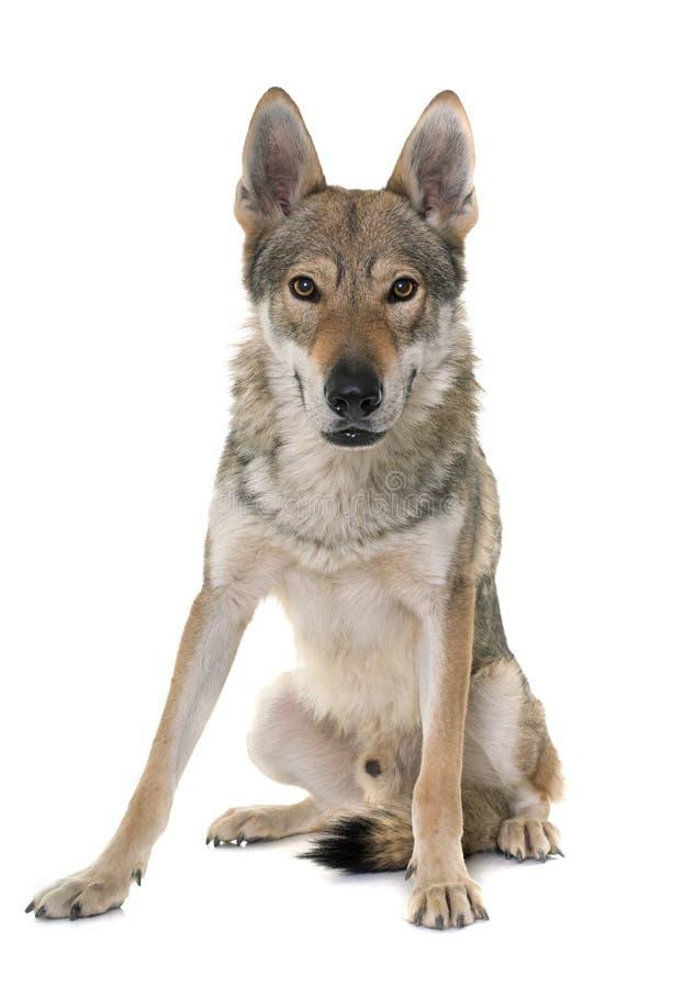 чехословацкая собака волка стоковые изображения