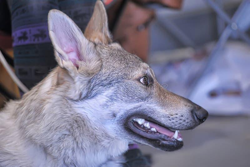 Чехословацкое Wolfdog стоковое изображение