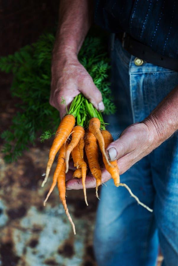 Человек держа свеже выбранные морковей стоковое изображение