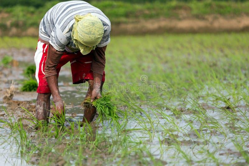Человек засаживая рис стоковая фотография rf