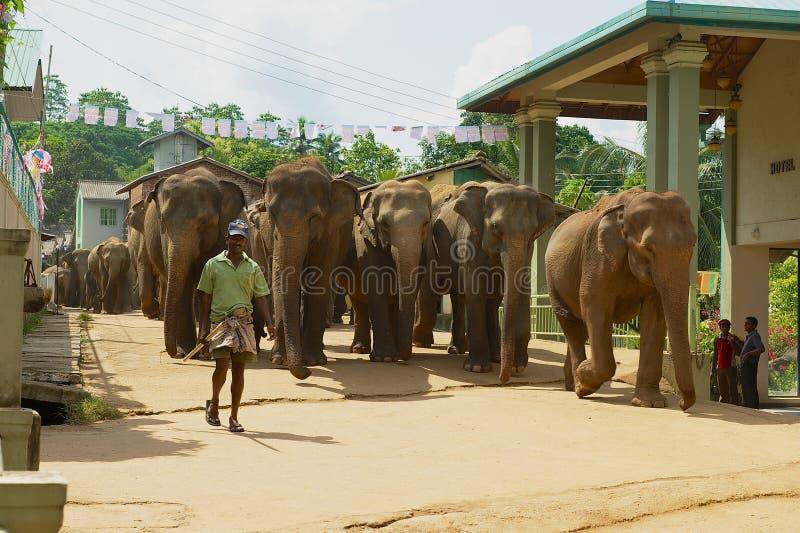 Человек идет слоны улицей Pinnawala в Шри-Ланке известно для детского дома слона стоковая фотография