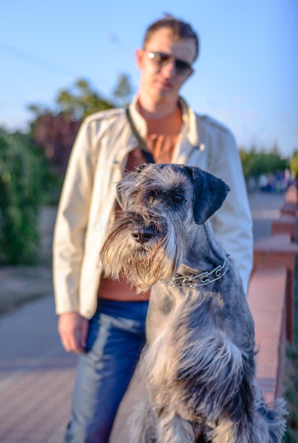 Человек стоя за бдительной собакой шнауцера Outdoors стоковое изображение rf