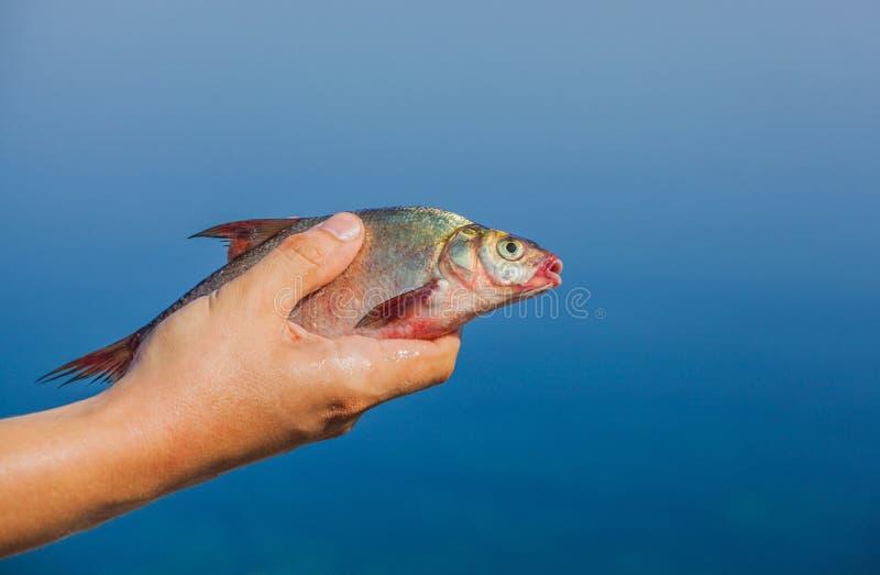 Человек Fisher держа в его руке уловил, рыбы реки стоковые изображения rf