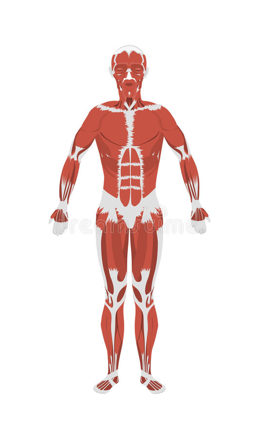 Человек muscles анатомия бесплатная иллюстрация