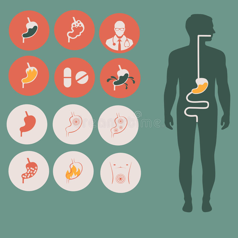 Человеческая анатомия живота иллюстрация вектора