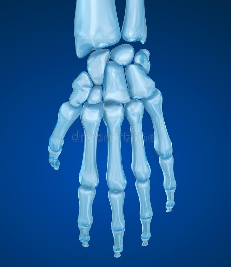 Человеческая анатомия запястья руки иллюстрация вектора
