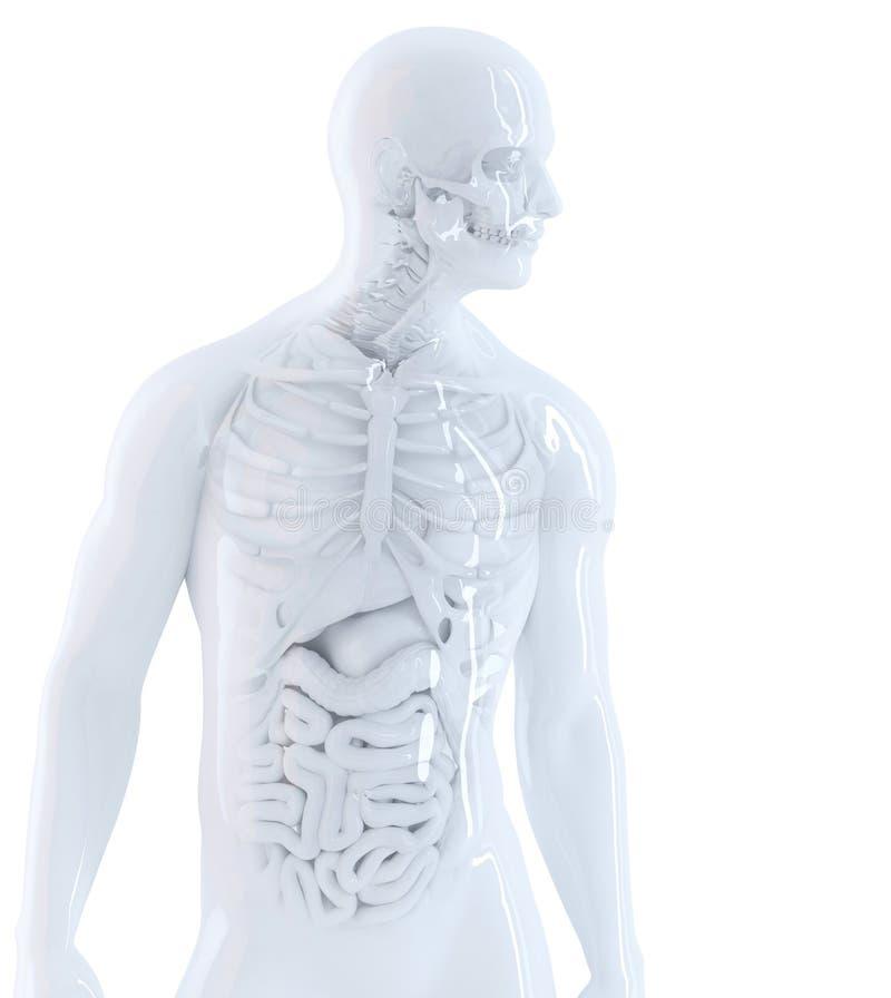 Человеческая анатомия Изолированный, содержит путь клиппирования иллюстрация штока