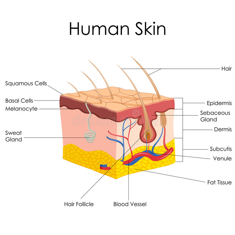 Человеческая анатомия кожи иллюстрация вектора