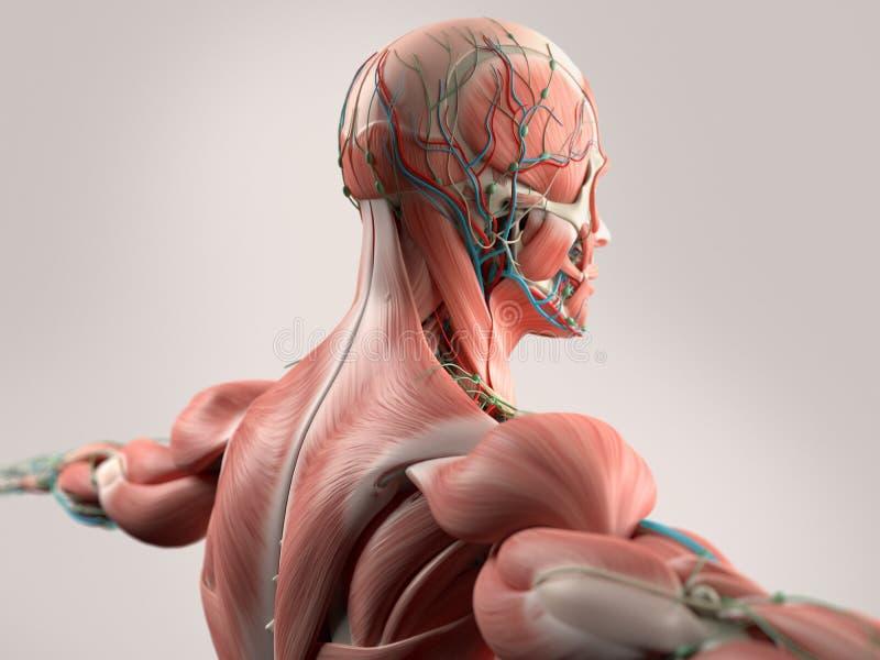 Человеческая анатомия показывая сторону, голову, плеча и заднюю часть иллюстрация вектора
