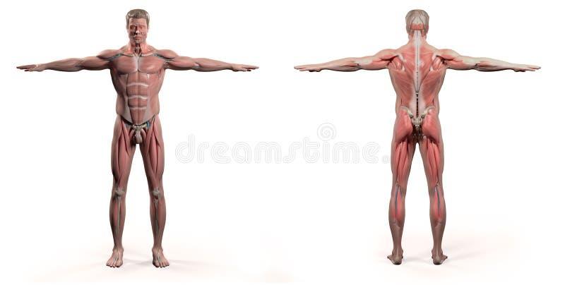 Человеческая анатомия показывая фронт и заднюю часть полное тело иллюстрация штока