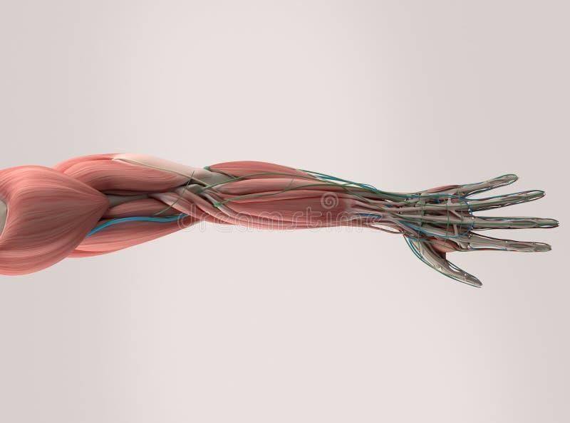 Человеческая анатомия, рука, рука, мышечная система иллюстрация штока