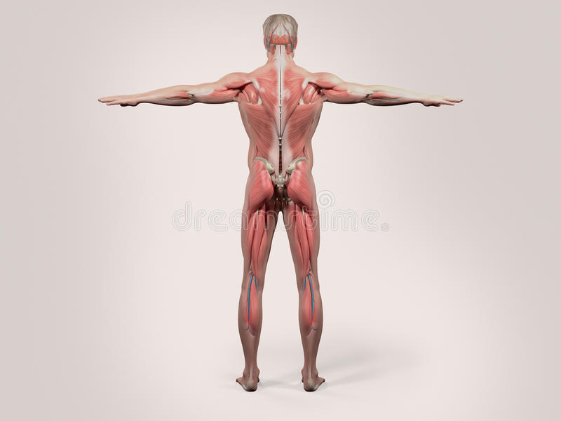 Человеческая анатомия с задним взглядом полного тела иллюстрация штока
