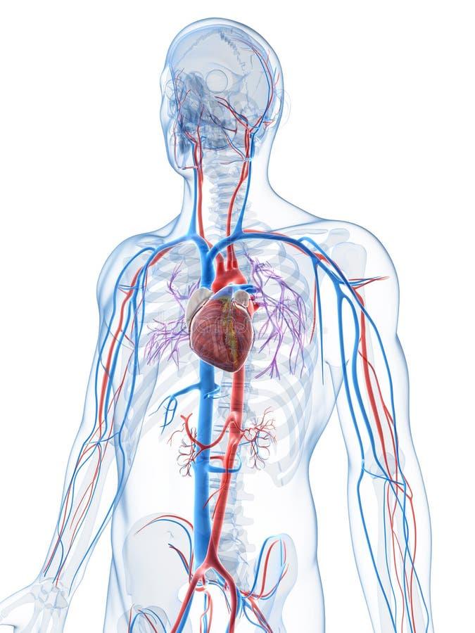 Человеческая васкулярная система иллюстрация вектора